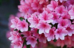 размножение, азалия, домашний, азалии семенами, взрослым растением