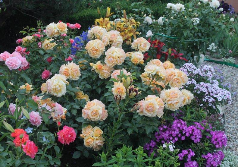 Розы для миксбордера