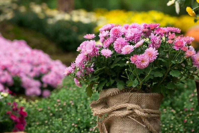 Хризантемы для миксбордера
