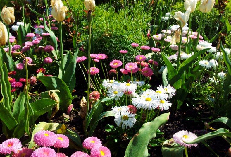 Астры и тюльпаны на клумбе
