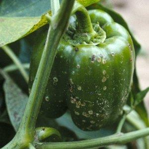 Перец нужно защищать от вредителей и болезней
