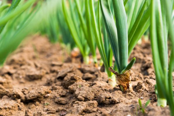как замочить семена лука порея перед посадкой