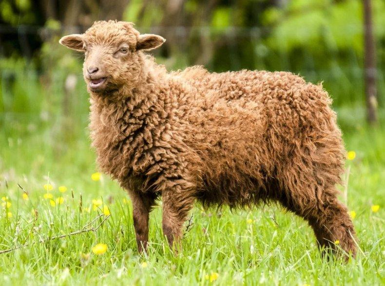 Долгосрочная возможность управлять 1200 овцами в Нортумберленде