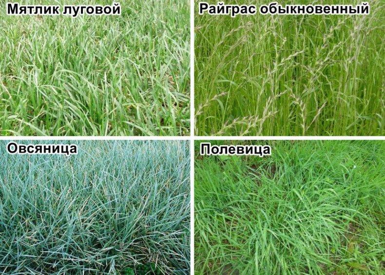 Семена для посадки газона