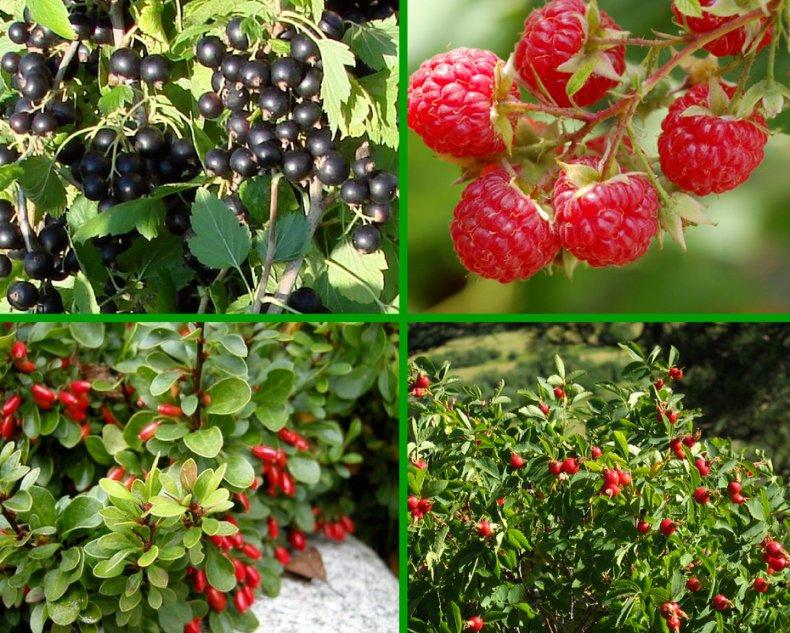 Кустарники для плодового сада