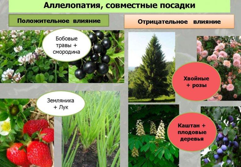 Аллелопатия растений