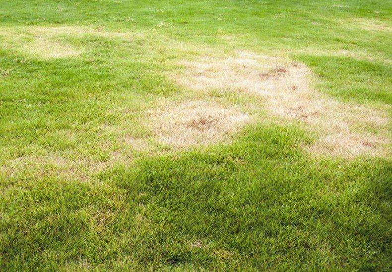 Пожелтение газонной травы