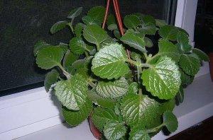 успешный, выращивание, домашний, мята, плектрантус, болезням вредителям