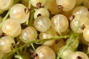 описание, сорт, смородина, выращивание, данного сорта, мучнистой росе
