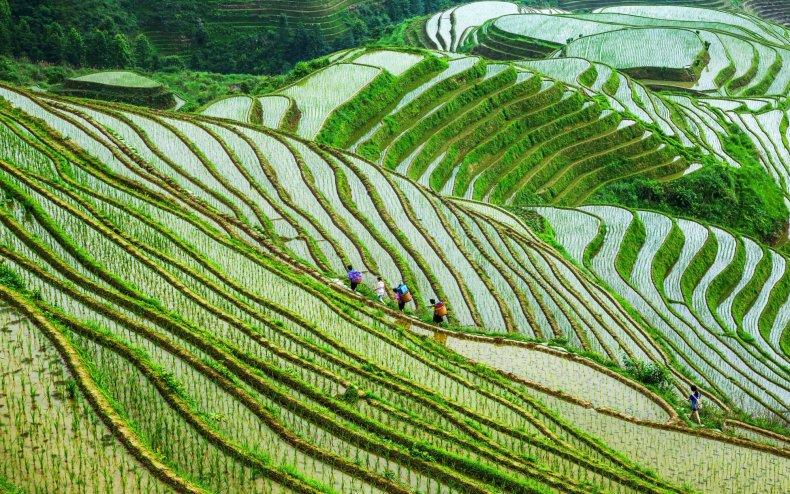 так фото выращивание риса в испании живцовых снастей позволяет