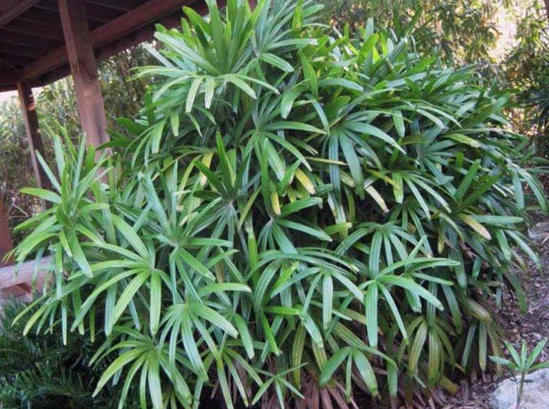 список, пальма, видов пальм, отлично переносит