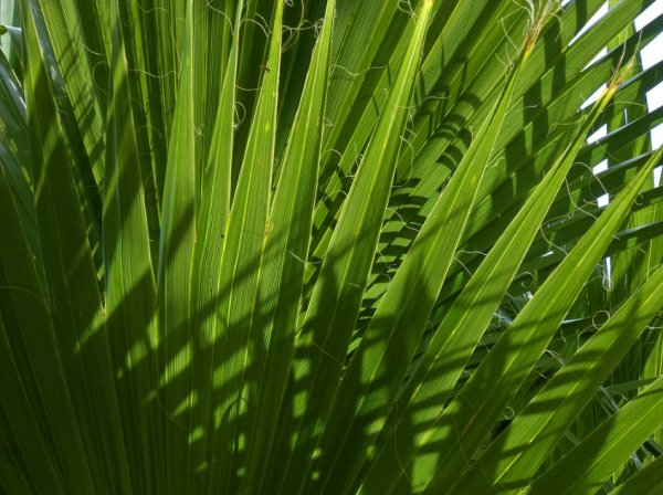 Проблемы при выращивании финиковой пальмы болезни и насекомые-вредители