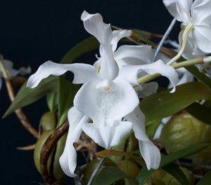 Coelogyne cristata alba
