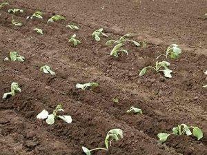 Перед посадкой нужно удобрить почву