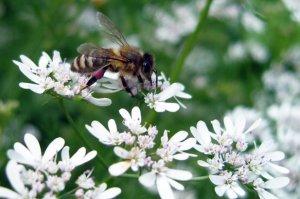 Вкус и цвет кориандрового мёда