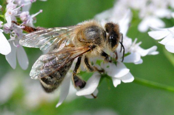 Лечебные свойства меда из кориандра