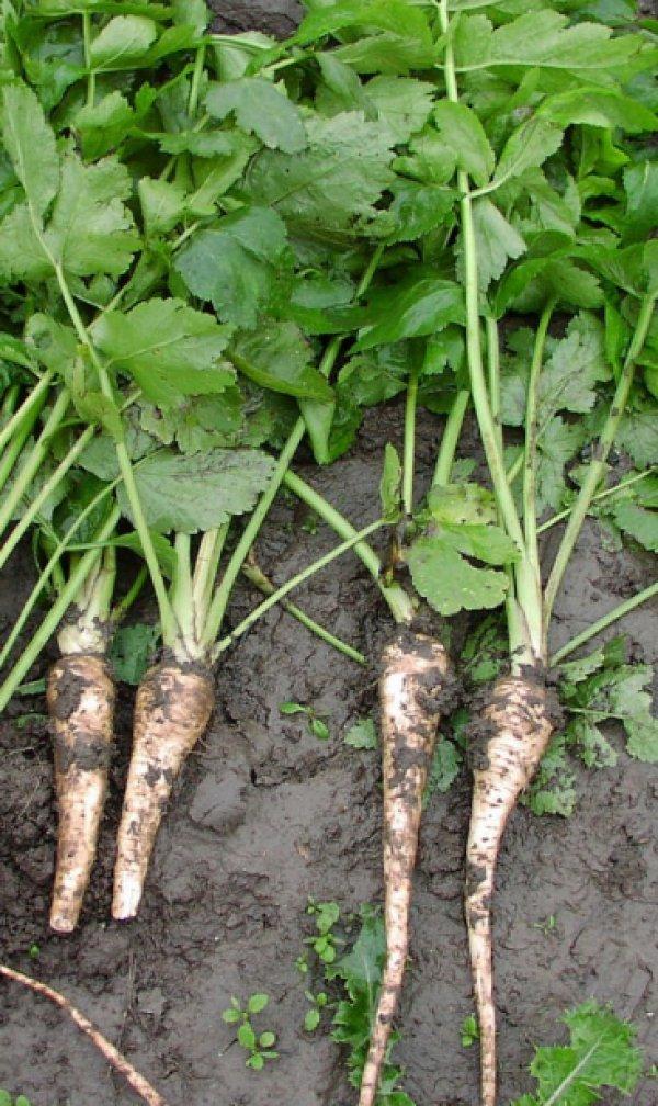 Пастернак овощ выращивание 50
