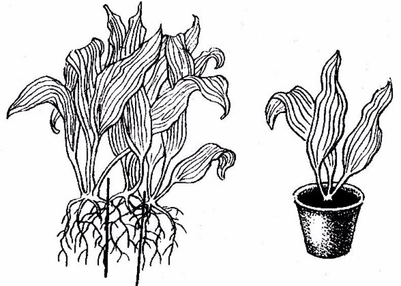 Размножение делением корневища
