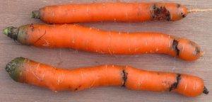 Морковь поражённая медведкой