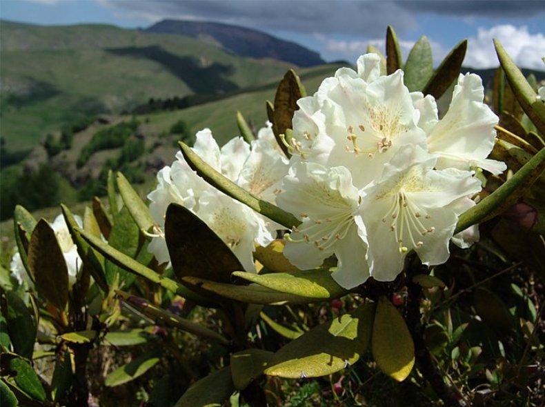 10 самых популярных видов рододендрона