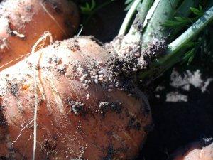 борьба, вредитель, морковь, Морковная муха, морковной мухи