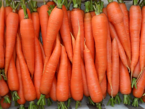 Вредители на огороде морковь