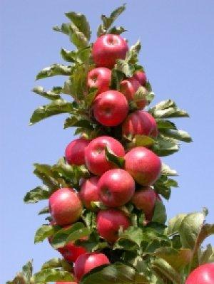 обрезка, колоновидных, яблоня, приятный, забота, любимый