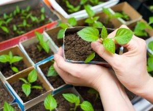 выращивание, рассада, перец, водой домашней, водой домашней температуры
