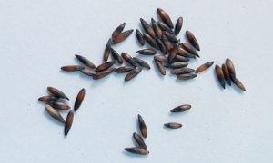 Секреты успешного выращивания статицы (бессмертника, кермека): посадка и уход в открытом грунте