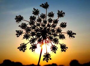 Цветение петрушки