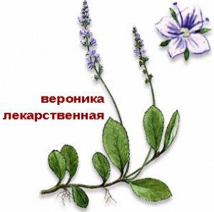 Вероника лекарственная: применение, лечебные свойства и противопоказания