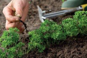 Удаление сорняков улучшит развитие моркови