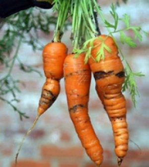 Важно защищать морковь от болезней и вредителей