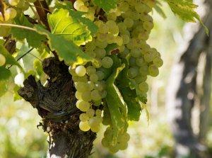 профилактика, борьба, вредитель, виноград, борьбы виноградной, инсектицидными препаратами