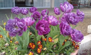 Позднецветущие тюльпаны