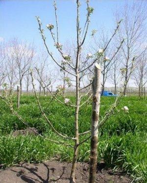 Пример веретеновидной формы кроны дерева яблони