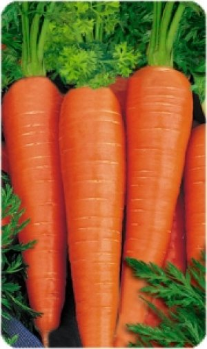 Морковь сорта «Витаминная» может лежать достаточно долгое время
