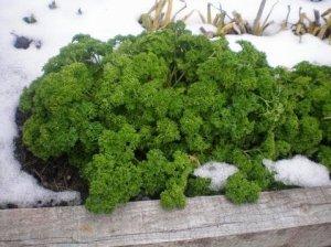 Посев петрушки под зиму