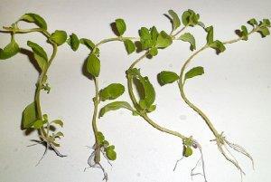 майоран, выращивание, уход, эфирной основе