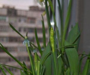 Крокусы не цветут