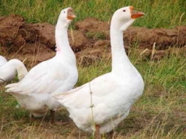 Как лечить гусей лечим понос у гуся