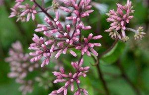 Eupatorium purpureum (Эупаториум пуррурэум) - посконник пурпурный - Сам себе гомеопат
