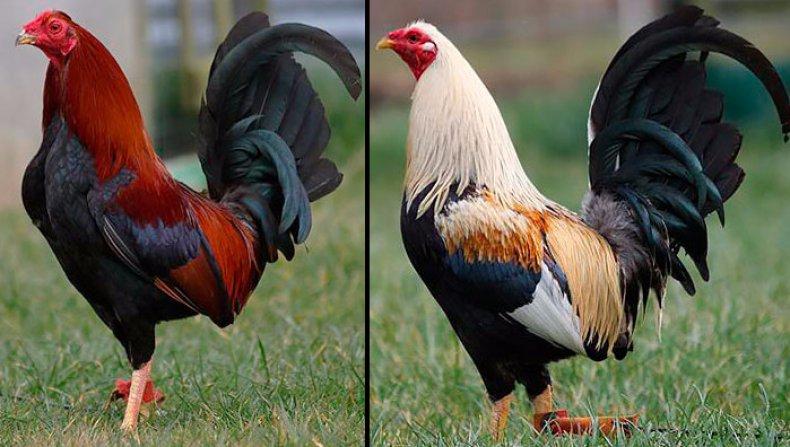 Бойцовские породы кур (бойцовые петухи)