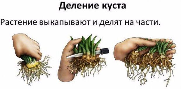Шалфей дубравный фото