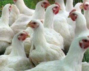 Яйценоскость сорта средняя в сравнении с другими породами