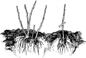 Что такое йошта: характеристики этой ягодной культуры, выращивание ... | 203x300