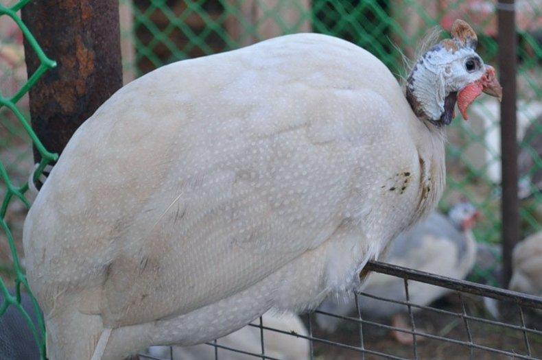 Сибирская белая