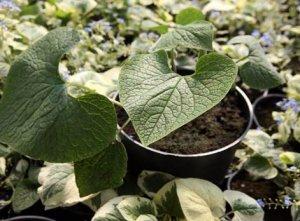 Выращивание бруннеры