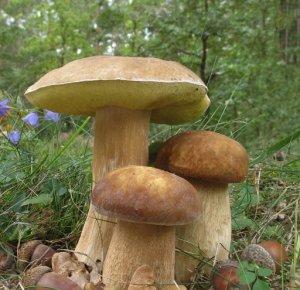 Белый гриб дубовый