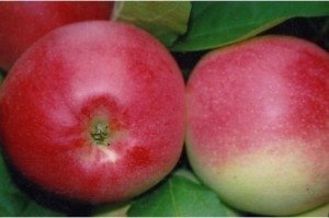 Плод яблока «Пепин Шафранный »покрыт красным румянцем